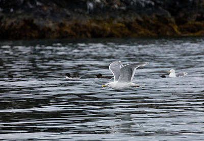 Photograph - Kittiwake Over The Water by Gloria Anderson