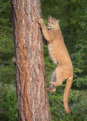 Photograph - Kitty Climber by Art Cole