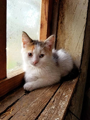 Photograph - Kitty In Window by Brook Burling