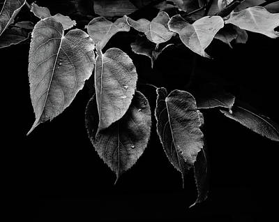 Photograph - Kiwi Leaves In Black And White by Ronda Broatch