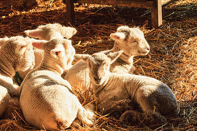 Photograph - Kline Creek Lambs by Joni Eskridge