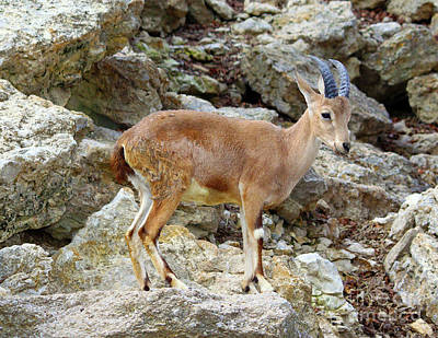 Photograph - Klipspringer by Inspirational Photo Creations Audrey Woods