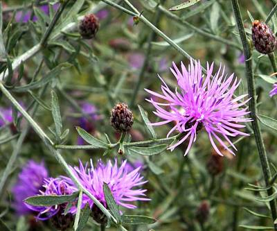 Photograph - Knapweed by Danielle R T Haney
