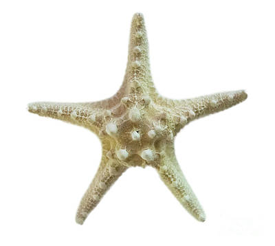 Photograph - Knobby Starfish by Judy Hall-Folde