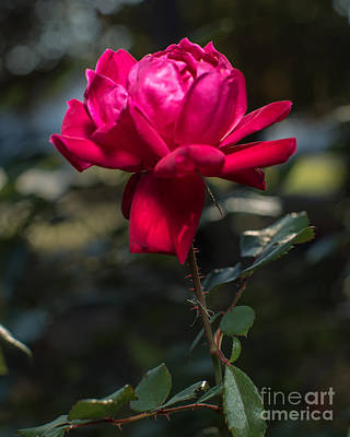 Photograph - Knockout Rose by Gene Berkenbile