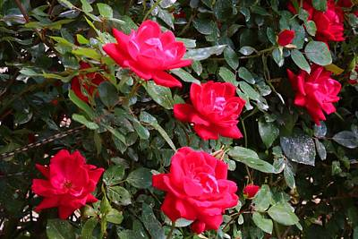 Photograph - Knockout Roses Closeup by Kathryn Meyer