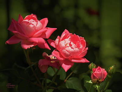 Photograph - Knockout Roses by Jim Ziemer