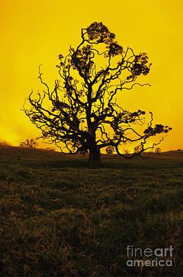 Koa Tree Silhouette Art Print by Carl Shaneff - Printscapes