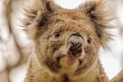 Photograph - Koala 4 by Werner Padarin