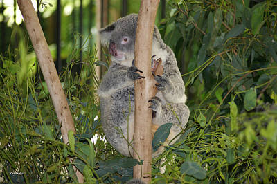 Photograph - Koala Bear 1 by Gary Crockett