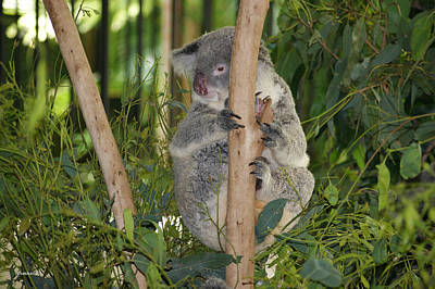 Photograph - Koala Bear 2 by Gary Crockett