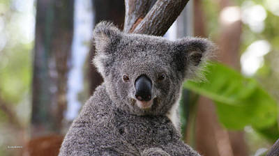 Photograph - Koala Bear 4 by Gary Crockett