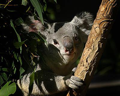 Photograph - Koala Bear 5 by Anthony Jones