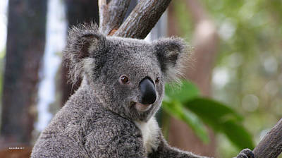 Photograph - Koala Bear 5 by Gary Crockett
