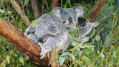 Photograph - Koala Bear 8 by Gary Crockett