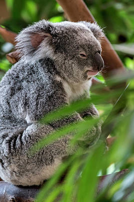 Photograph - Koala Bear by Arterra Picture Library