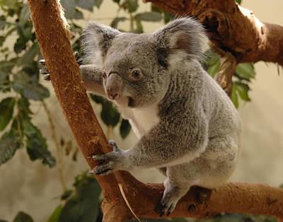 Koala Bear II Art Print