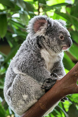 Photograph - Koala Bear In Tree by Arterra Picture Library