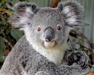 Photograph - Koala Bear  by Jack Nevitt