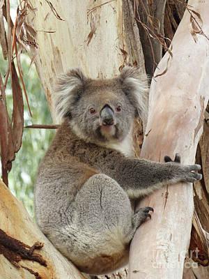 Photograph - Koala Bear by Phil Banks