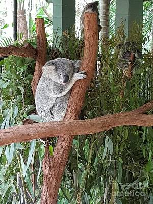 Photograph - Koala by Cassy Allsworth