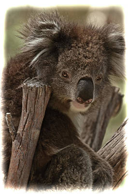 Photograph - Koala Chair by Sue Masterson