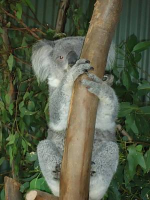 Vermeer Rights Managed Images - Koala  Royalty-Free Image by Ciara Crow