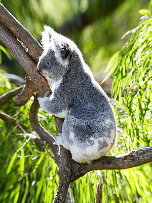Koala Climbs Art Print by Niel Morley