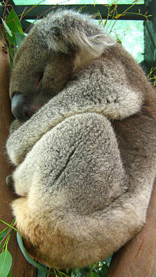 Photograph - Koala by Emma Frost