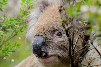 Photograph - Koala In A Tree by Rob Huntley
