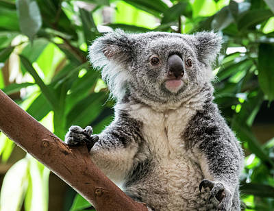 Photograph - Koala In Tree by Arterra Picture Library