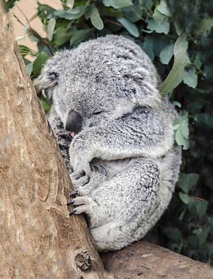 Photograph - Koala Joey Sleeping by William Bitman