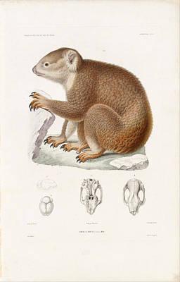 Koala Drawing - Koala by Louis Le Breton