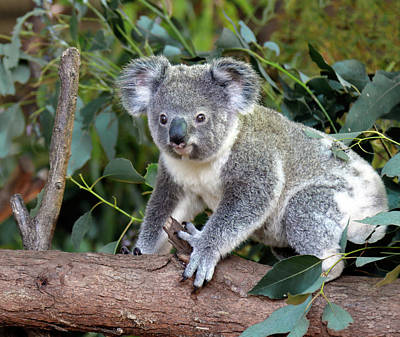 Photograph - Koala by Nicholas Blackwell