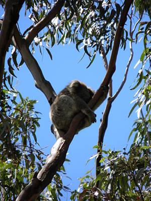 Koala Photograph - Koala On A Branch by Viktor Milenkov