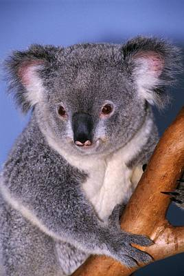 Marsupial Photograph - Koala On Tree Branch by Natural Selection Ralph Curtin