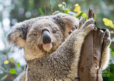 Koala Photograph - Koala On Tree by Jamie Pham