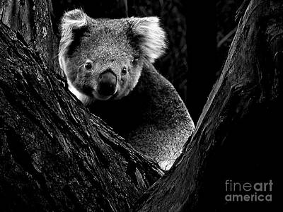 Photograph - Koala Park Bw by Tim Richards