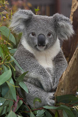 Koala Photograph - Koala Phascolarctos Cinereus by Zssd