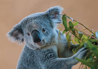 Photograph - Koala Portrait 2 by William Bitman