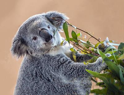 Photograph - Koala Portrait 3 by William Bitman