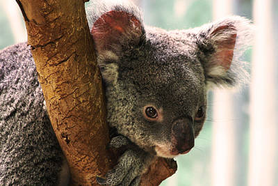 Marsupial Photograph - Koala Portrait by Brian M Lumley