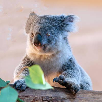 Photograph - Koala Portrait by William Bitman
