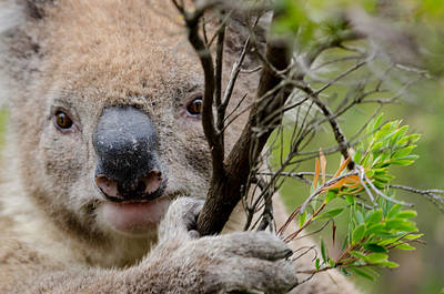 Photograph - Koala by Rob Huntley