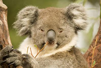 Marsupial Photograph - Koala Snack by Mike  Dawson