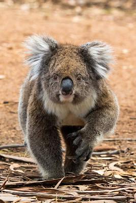 Photograph - Koala Walker by Pascal Mercay