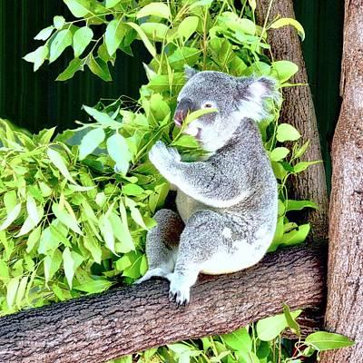 Photograph - Koalas Love Their Eucalyptus by Kirsten Giving