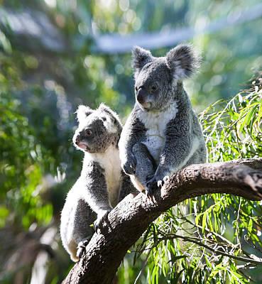 Koalas Art Print by Niel Morley