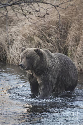 Alaska Photograph - Kodiak Brown Bear by Carolyn Brown