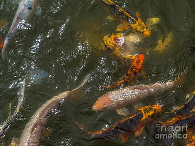 Photograph - Koi 1 by Spencer Baugh